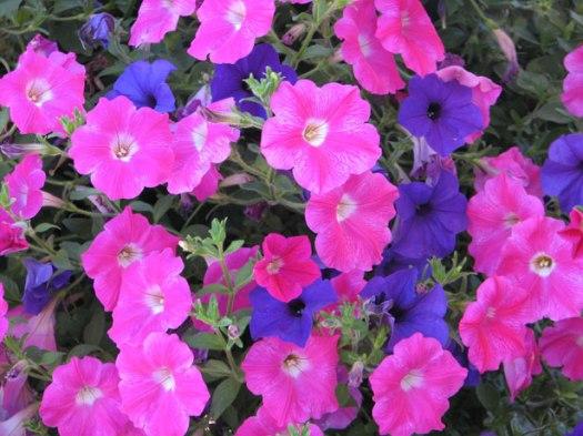 petunias-pink-purple-23441281530312VUJz